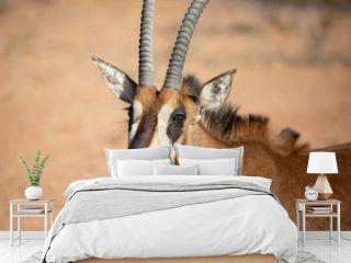Portrait of a rare young female sable antelope. Okonjima, Namibia.