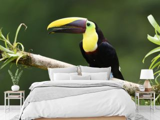 Yellow-throated toucan sitting on moss bromelia branch