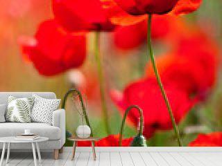 Coquelicots, fleurs de printemps et campagne