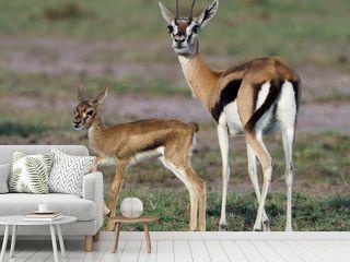 Thomsons gazelle, Eudorcas thomsonii