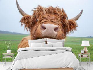 Galloway-Rinder auf Weide: Portrait / Blick