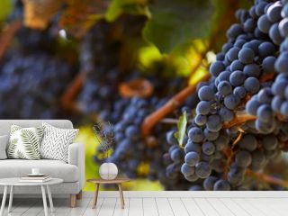 Ripe blue grapes hanging on vineyard in autumn day