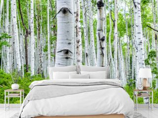 Aspen forest trees in summer on Kebler Pass in Colorado in National Forest park mountains with lush green color