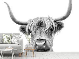 A Highland cow in Scotland.