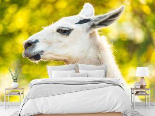 Full white llama (Lama glama) head and neck closeup