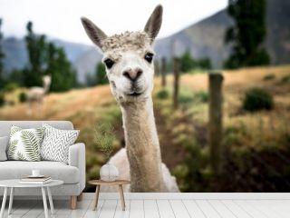 Funny Portrait of a sheared lama - Cute Alpaca
