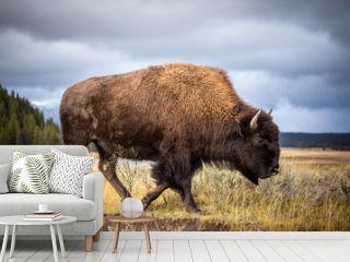 American bison walking and looking for food in Yellowstone National Park.