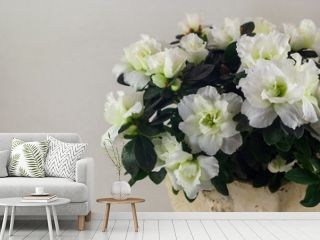 White azalea in a clay flower pot on a gray background. The clay flower pot is light in color.