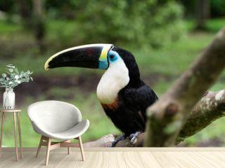 Toucan portrait 1