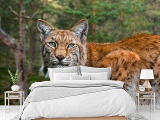 Eurasian lynx (Lynx lynx) close up portrait in forest