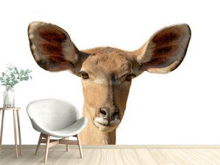 portrait of antelope kudu female front white background