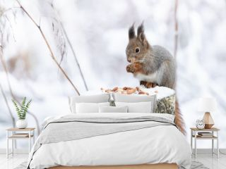 Red squirrel is eating peanuts on a feeding place