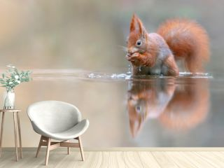 Eurasian red squirrel (Sciurus vulgaris) eating a hazelnut in a pool of water  in the forest of Drunen, Noord Brabant in the Netherlands. Green background. Reflection in the water.