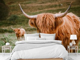 Highland Cattle with long horns