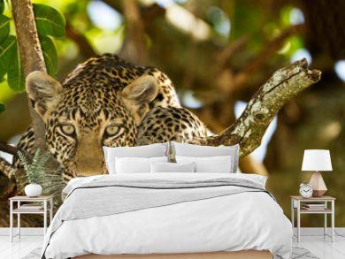 leopard on tree, leopard portrait in the wilderness of Africa