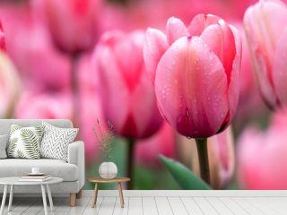 チューリップの花 春イメージ