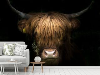 Portrait of a scottish highland cow (Bos Taurus)