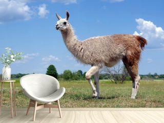 lama grazing in the meadow. graceful llama on the field. llama at the farm