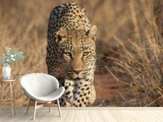 Vertical portrait of a walking leopard in Kruger National Park South Africa