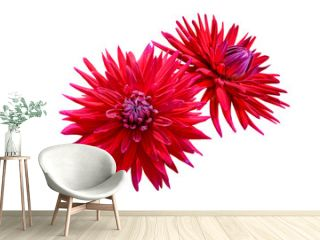 couple of red dahlia flowers isolated on white