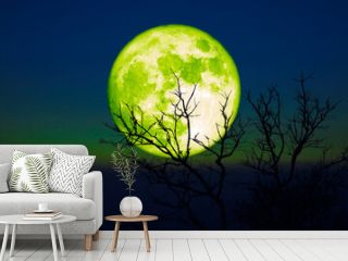 Full Barley green moon and silhouette dry trees in the sunset dark green blue sky