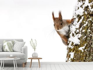 red squirrel searching for food sits on tree trunk on white snow background