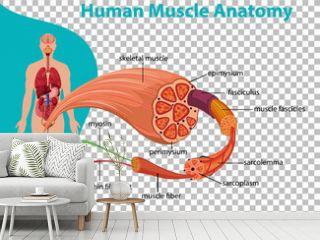 Human muscle anatomy with body anatomy