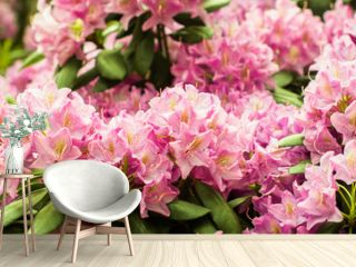 banner. Beautiful blooming pink Azalea - flowering shrubs in the genus Rhododendron. Pink, summer flower background