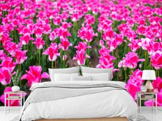 Field with planted pink tulips