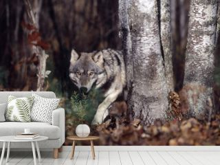 Gray wolf in forest