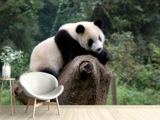 Panda in a relaxed mood in a Chinese panda preserve