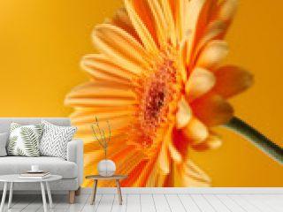 yellow orange gerbera flower photographed with lig
