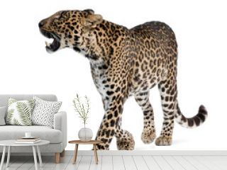 Leopard, walking and snarling against white background