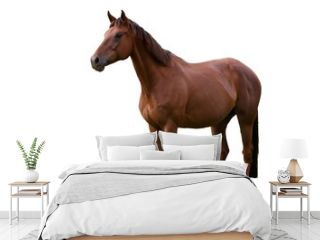 Brown Horse Isolated on White