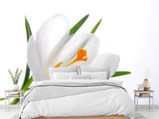 white crocus flower