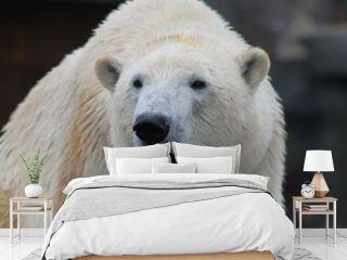 Ein gähnender Eisbär