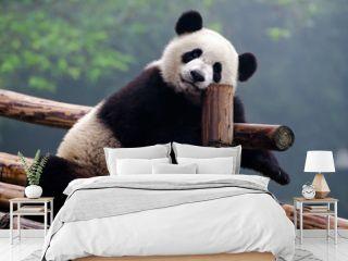 Cute giant panda bear