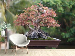 Banyan or ficus bonsai tree .