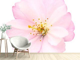 Freigestellte Nahaufnahme einer Kirschblüte