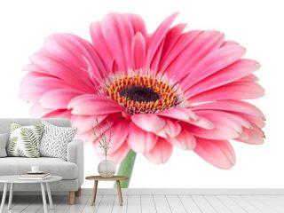 Pink gerbera flower on stem