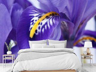 iris flowers.