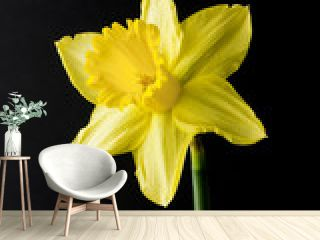 single daffodil on black