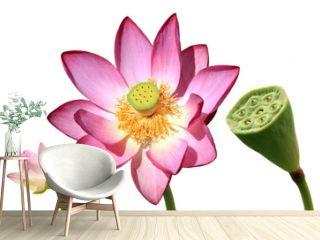étapes de la vie du lotus nebula
