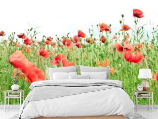 Field of wild poppy flowers.