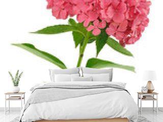 Hydrangea macrophylla  flower  isolated on white background