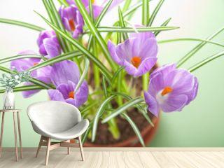crocus flower in pot