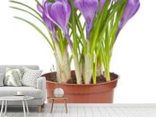 crocus flower in pot isolated
