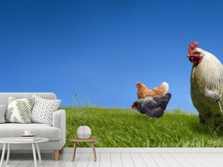 Chickens and cock on the green meadow