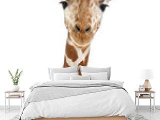 Somali Giraffe, commonly known as Reticulated Giraffe