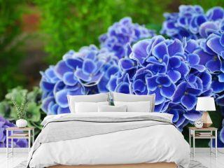 鮮やかな青のアジサイ